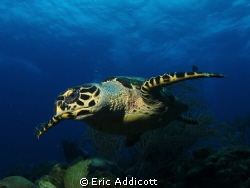 Hawksbill turtle, Roatan, Canon S95 by Eric Addicott 